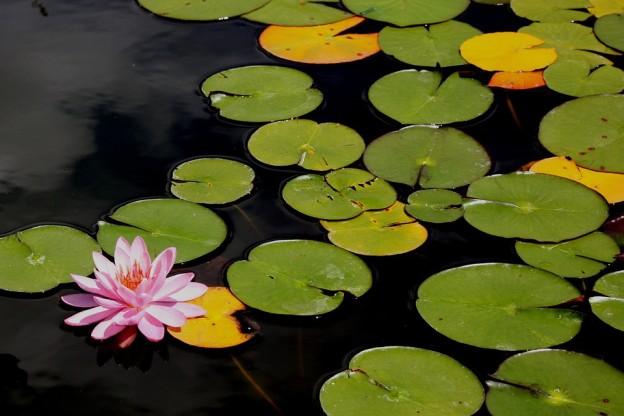 Fleur de lotus sur un lac